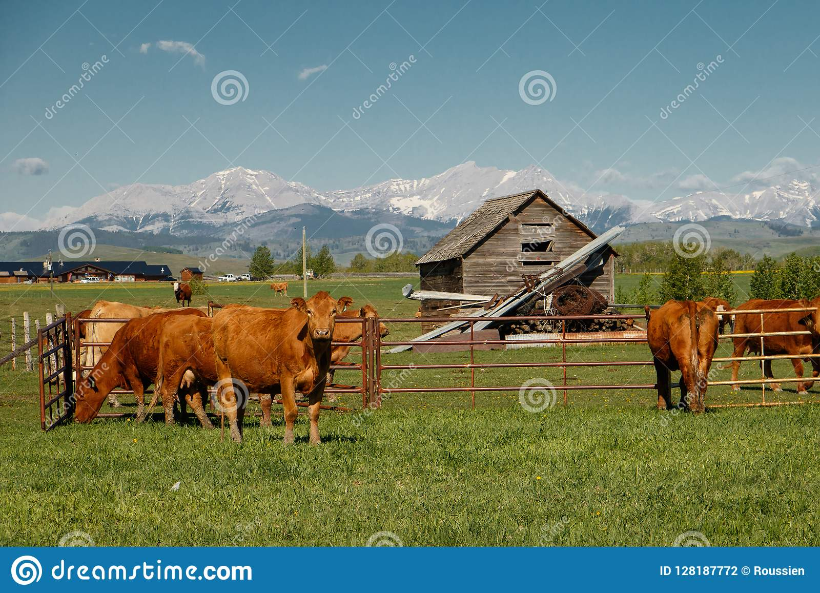 Cows As Traditional Farming Livestock In Southern Alberta Canada Stock Photo Image Of Alberta Cows 128187772