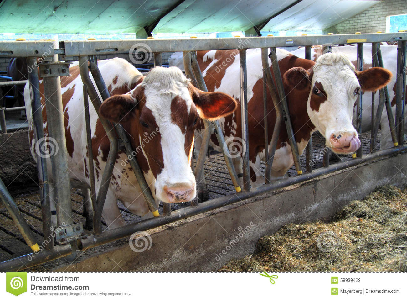 Cows Are Curious Animals Stock Image Of Black