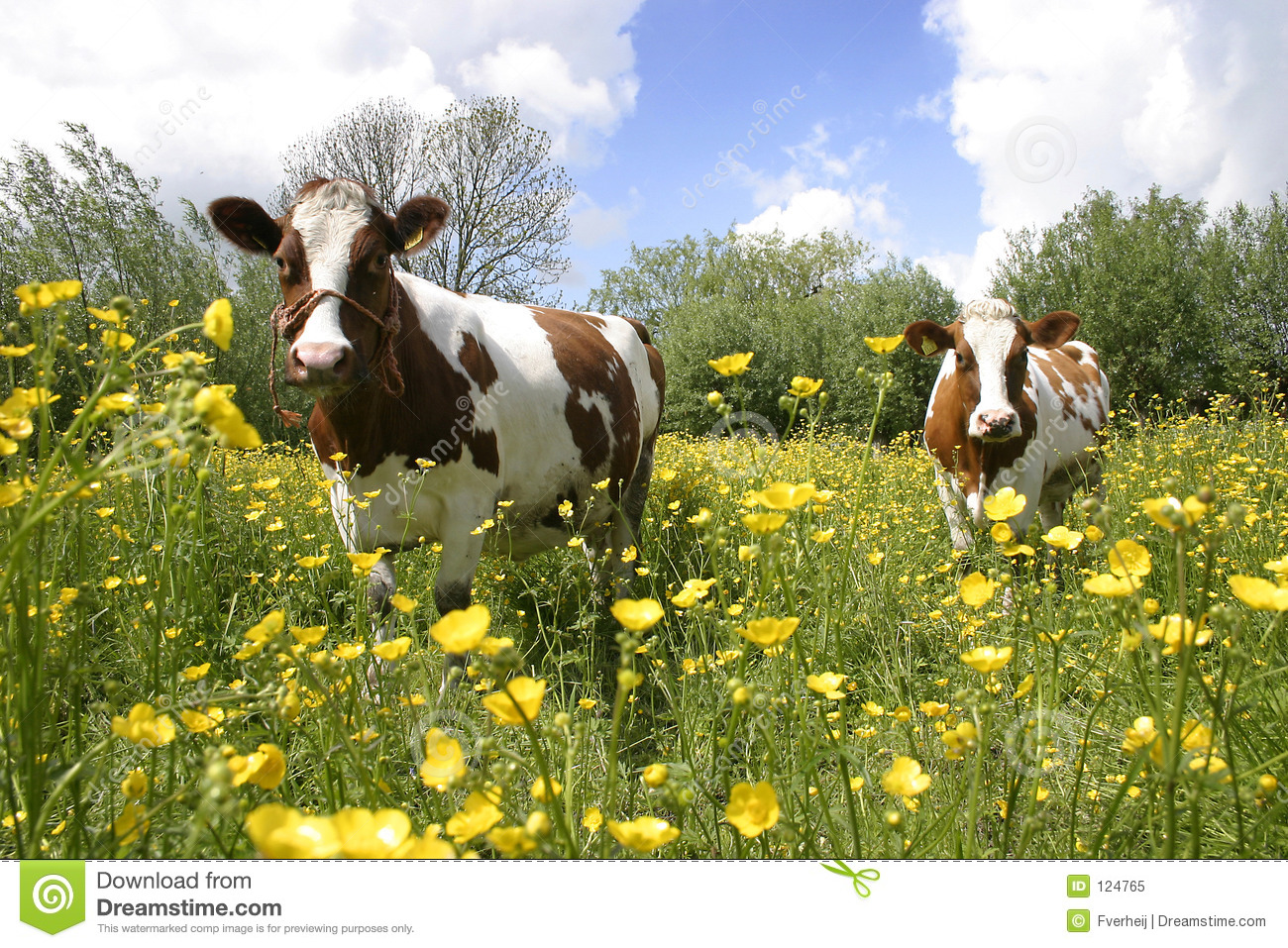 Download Cows in dutch landscape 4 stock image. Image of holland - 124765