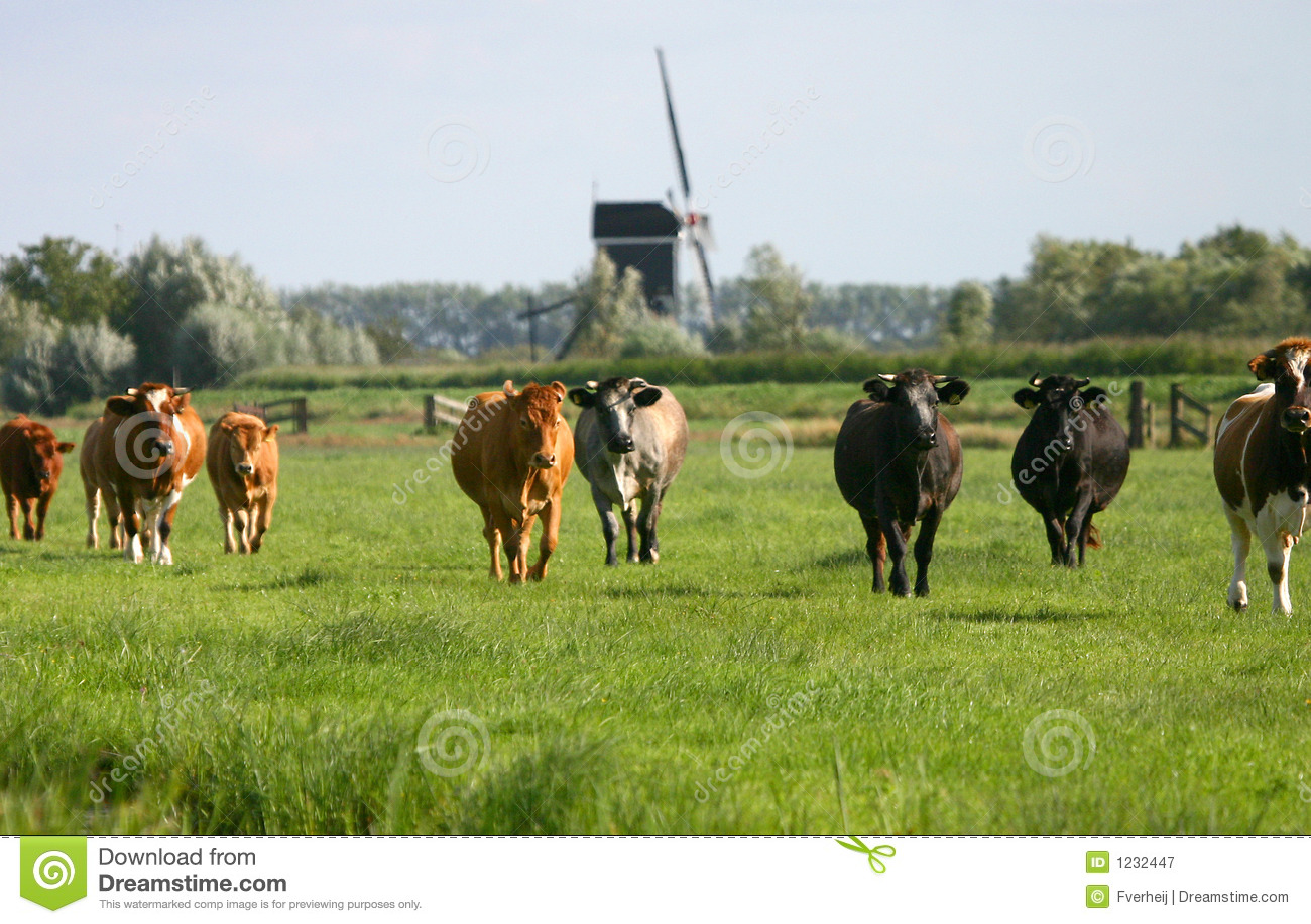 Cows in dutch landscape wm1