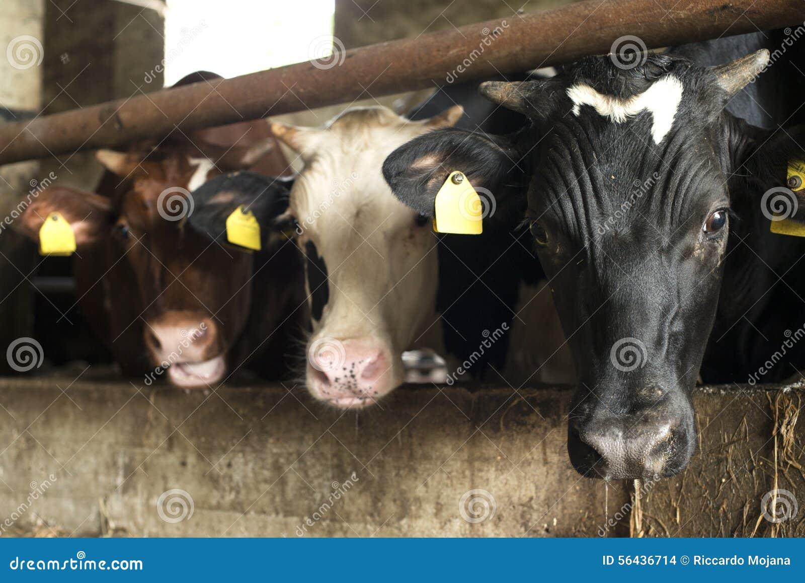 Cows in farm