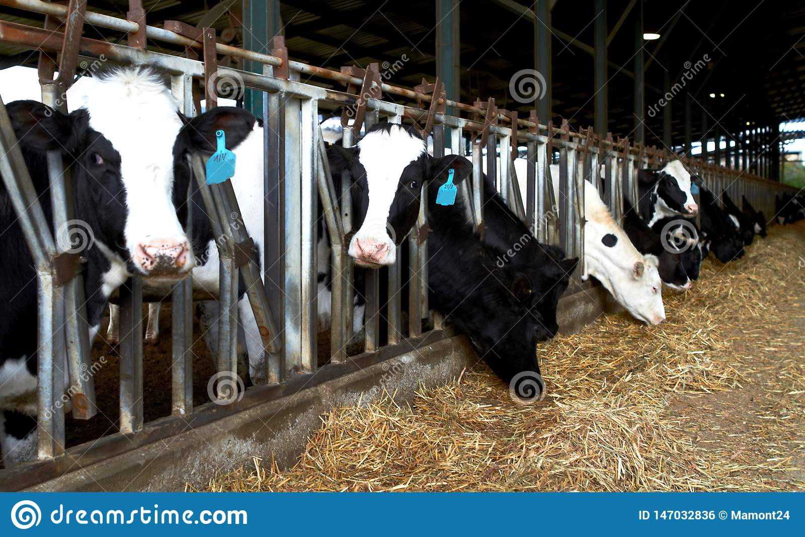 Cows farm kibbutz, Israel Spring Feeding