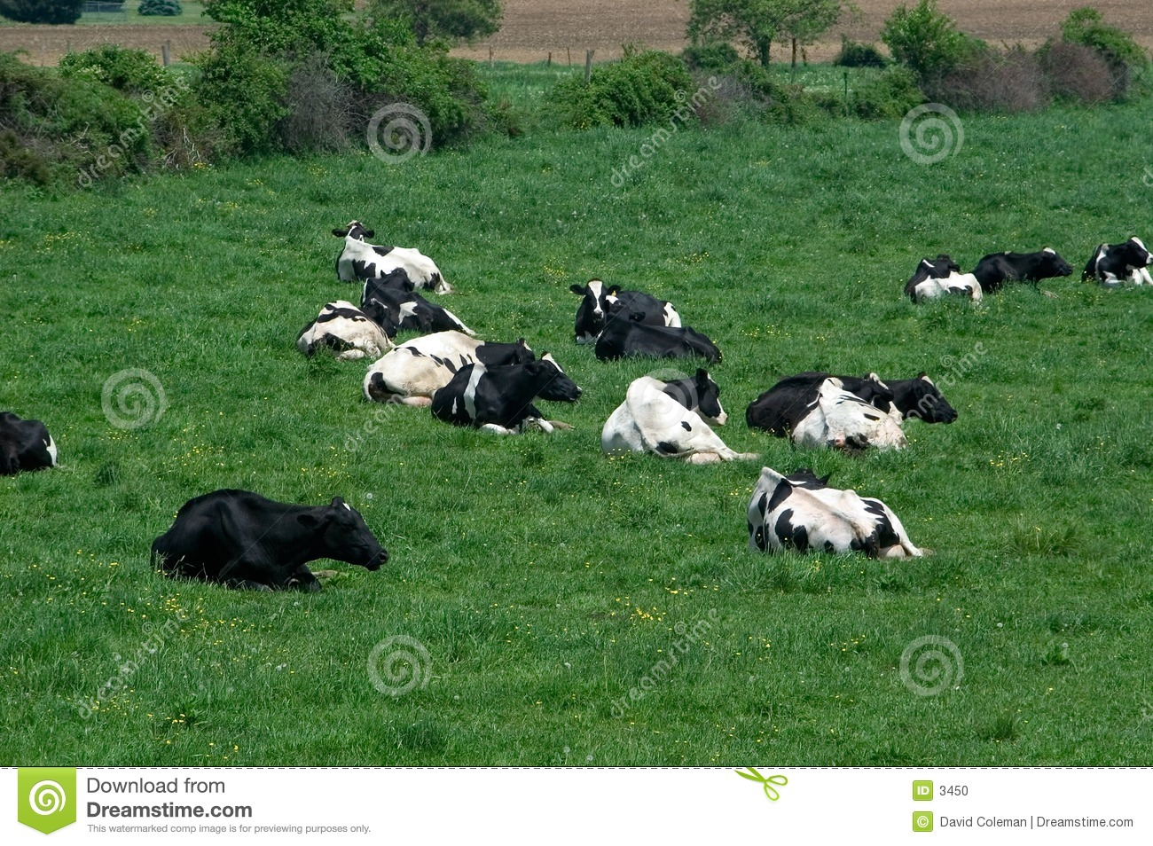 Cows in field at rest