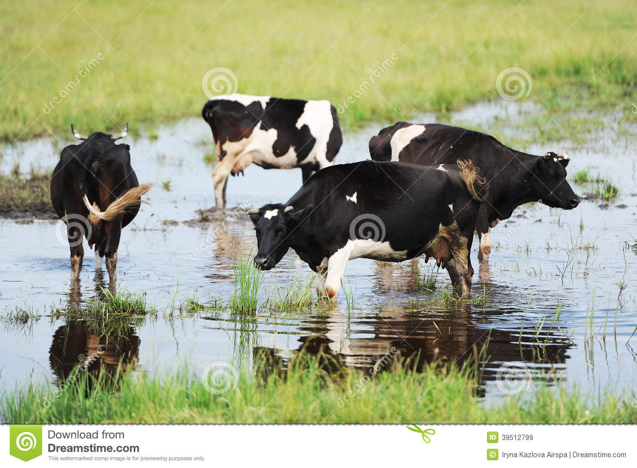 Cows on the flooded meadow