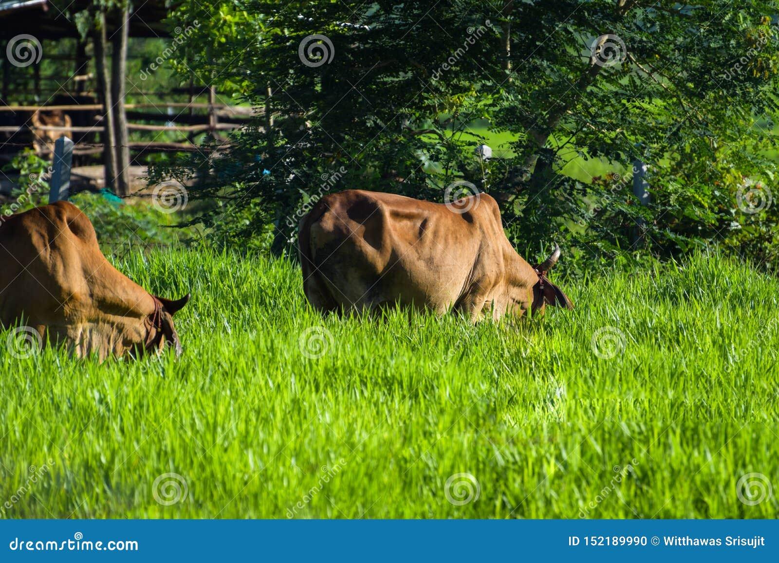 Cows graze on the farm, morning sunlight, green grassland, livestock in Thailand