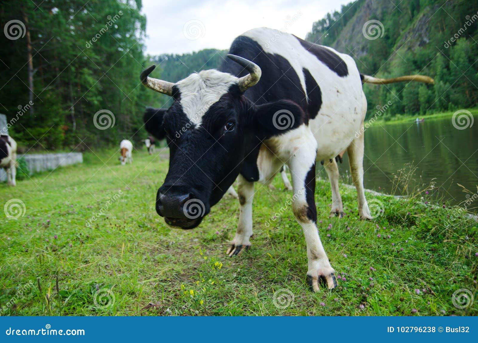 Cow, Agriculture, Pasture, Animal, Ranch, River, Landscape, Village