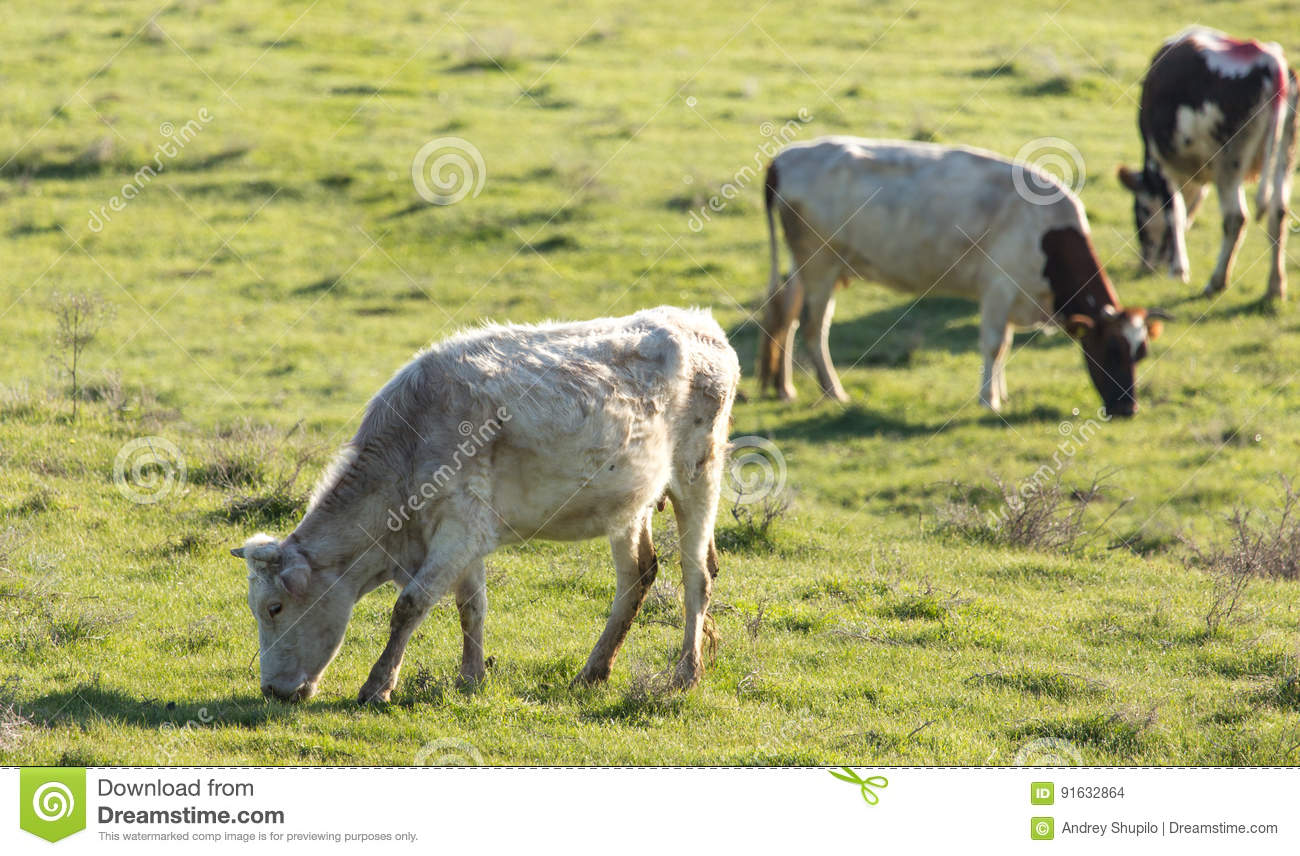 Cows graze on pasture on nature