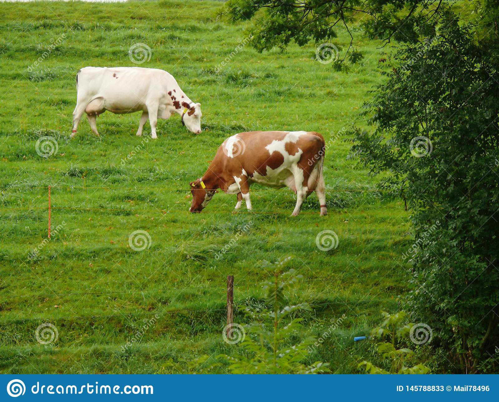 Cows grazing on a green hill