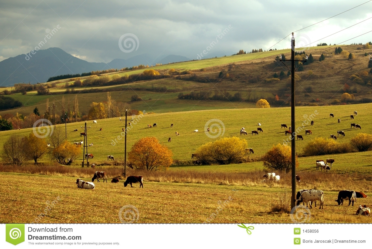 Cows grazing in the meadow