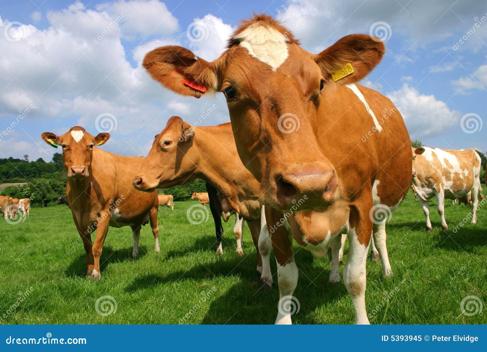Cows guernsey