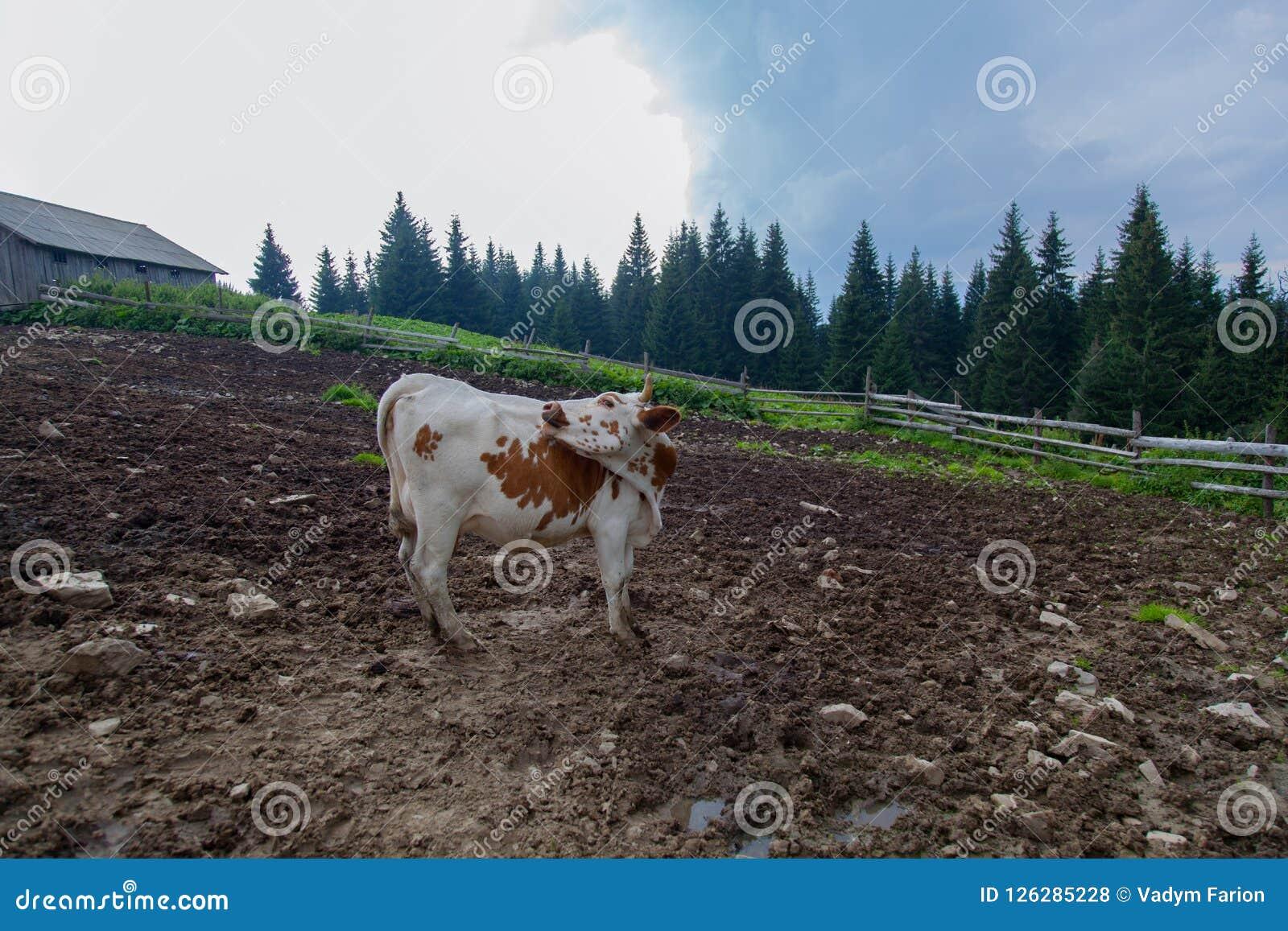 Cows on a high mountain farm in summer