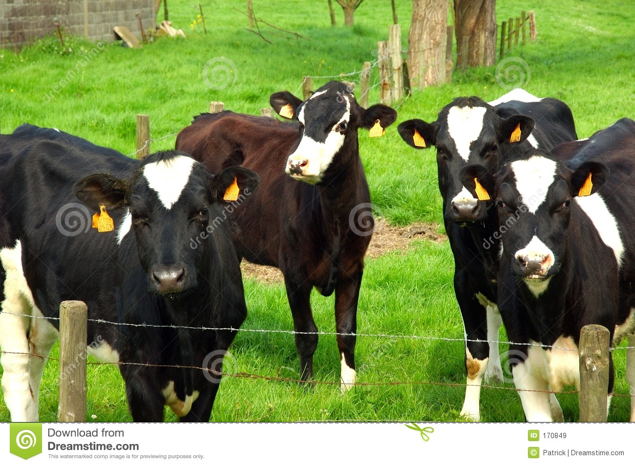 Cows in the meadow.