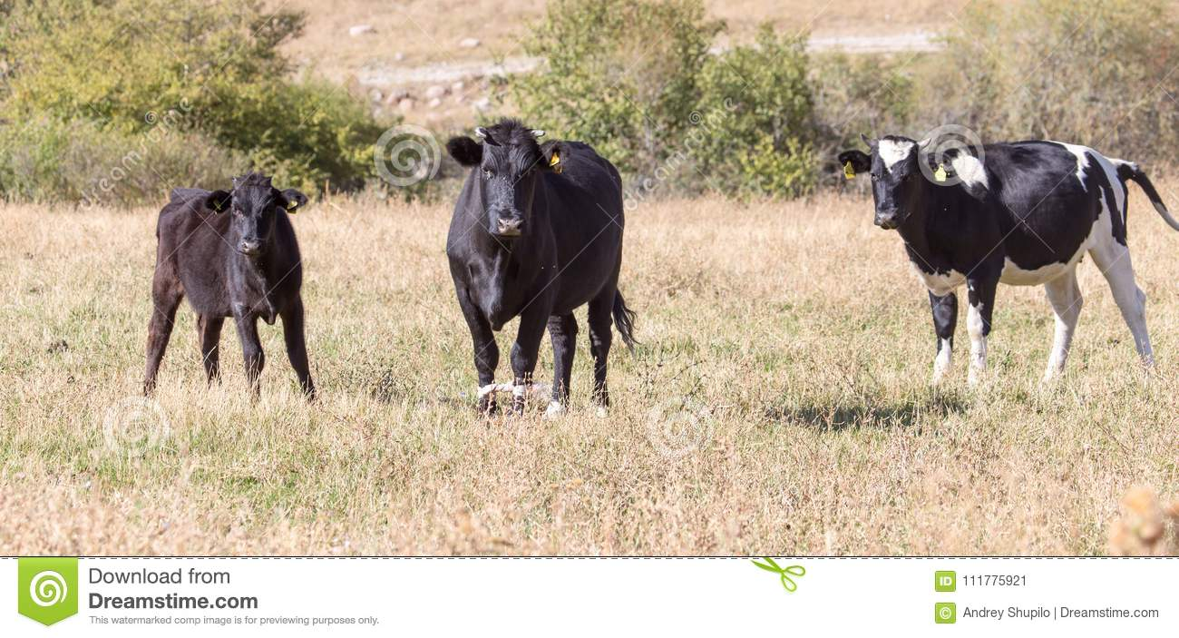 Cows on pasture in the fall