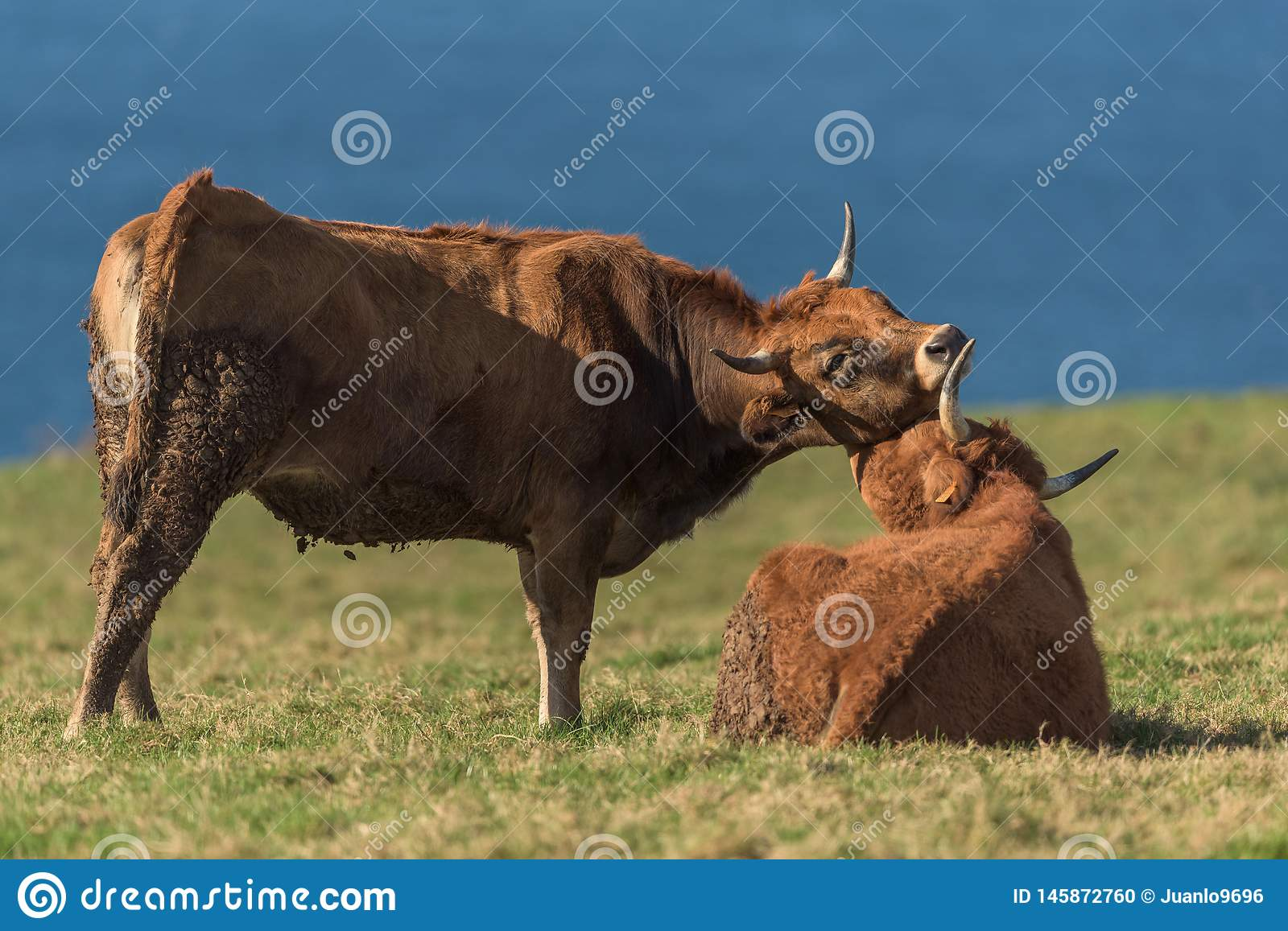 The cows. Cows on a pasture with the sea in the background stock photo
