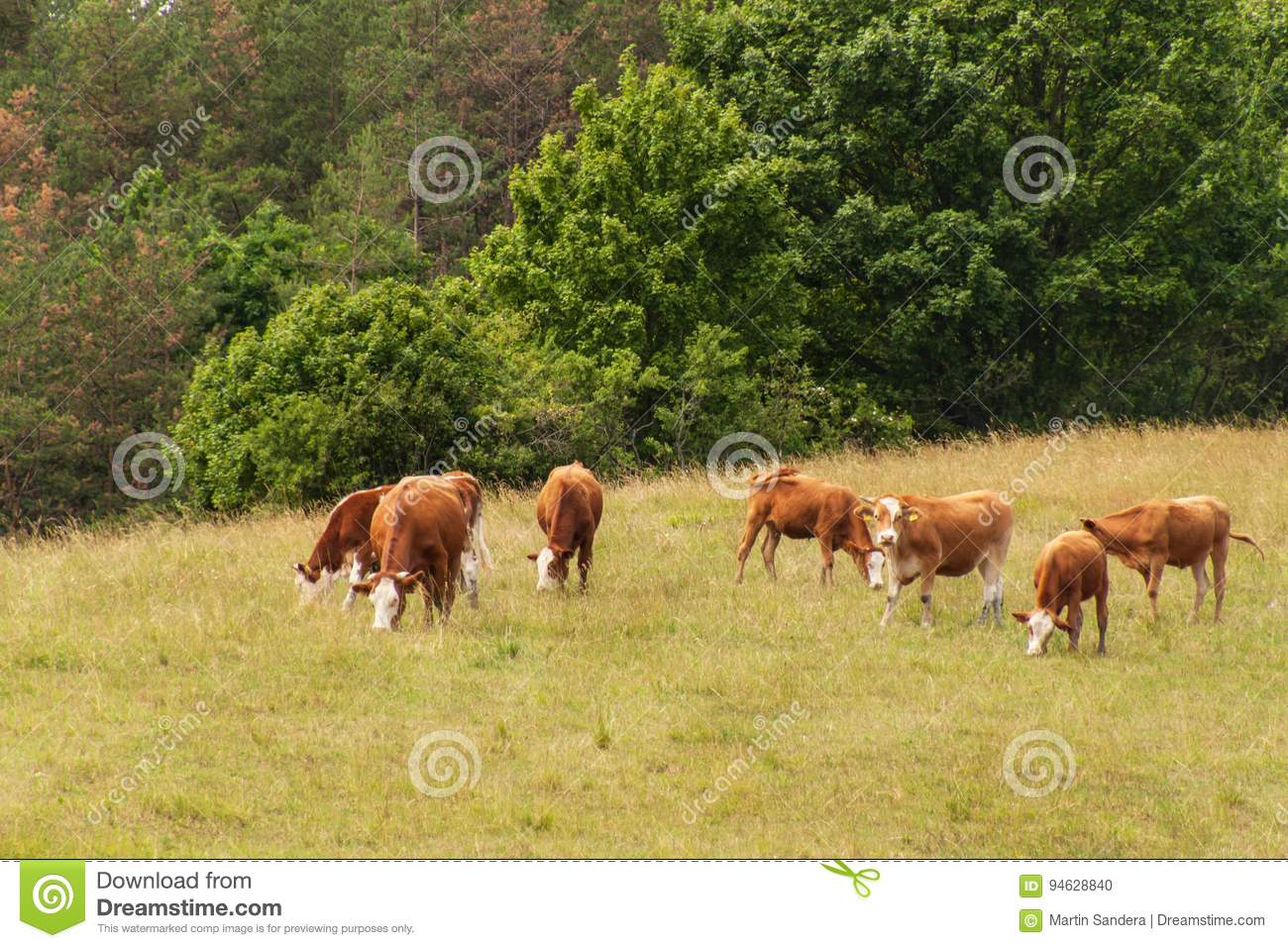 Cows on pasture at the woods. Cattle farming in the Czech Republic.