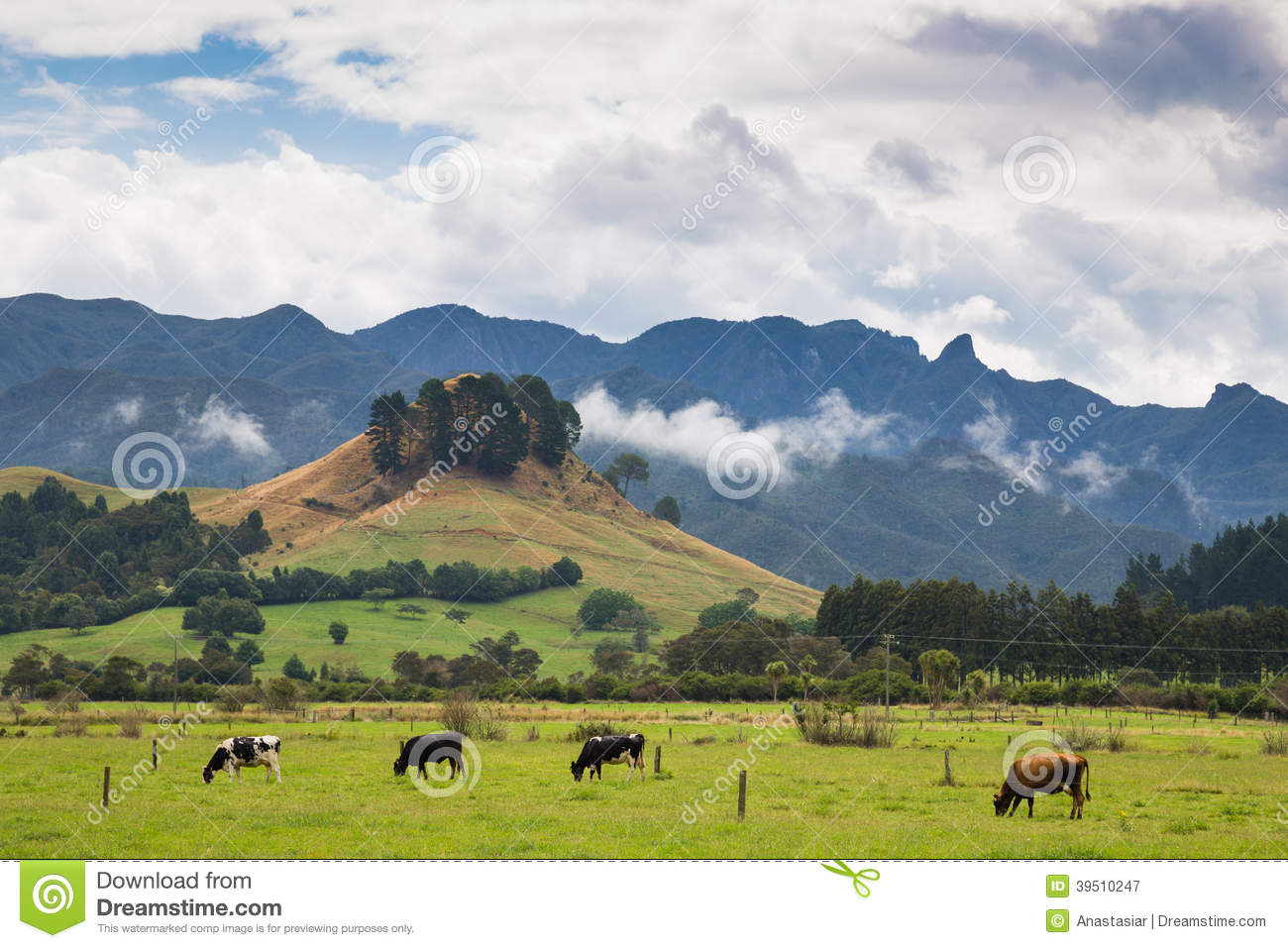 Cows pasturing on a green meadow in New Zealand