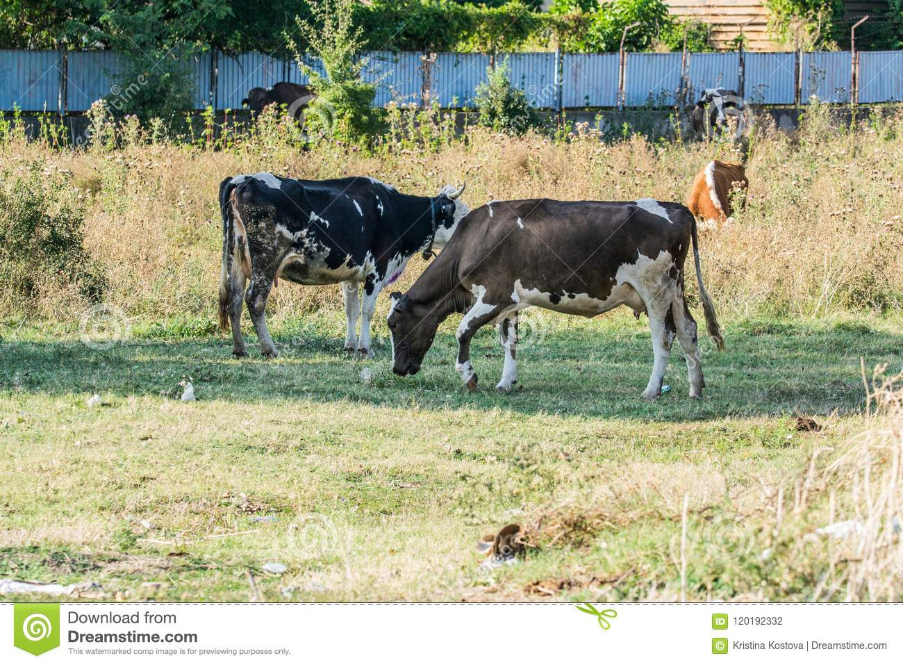 Cows In A Ranch Stock Photo Image Of Detailed Great 120192332