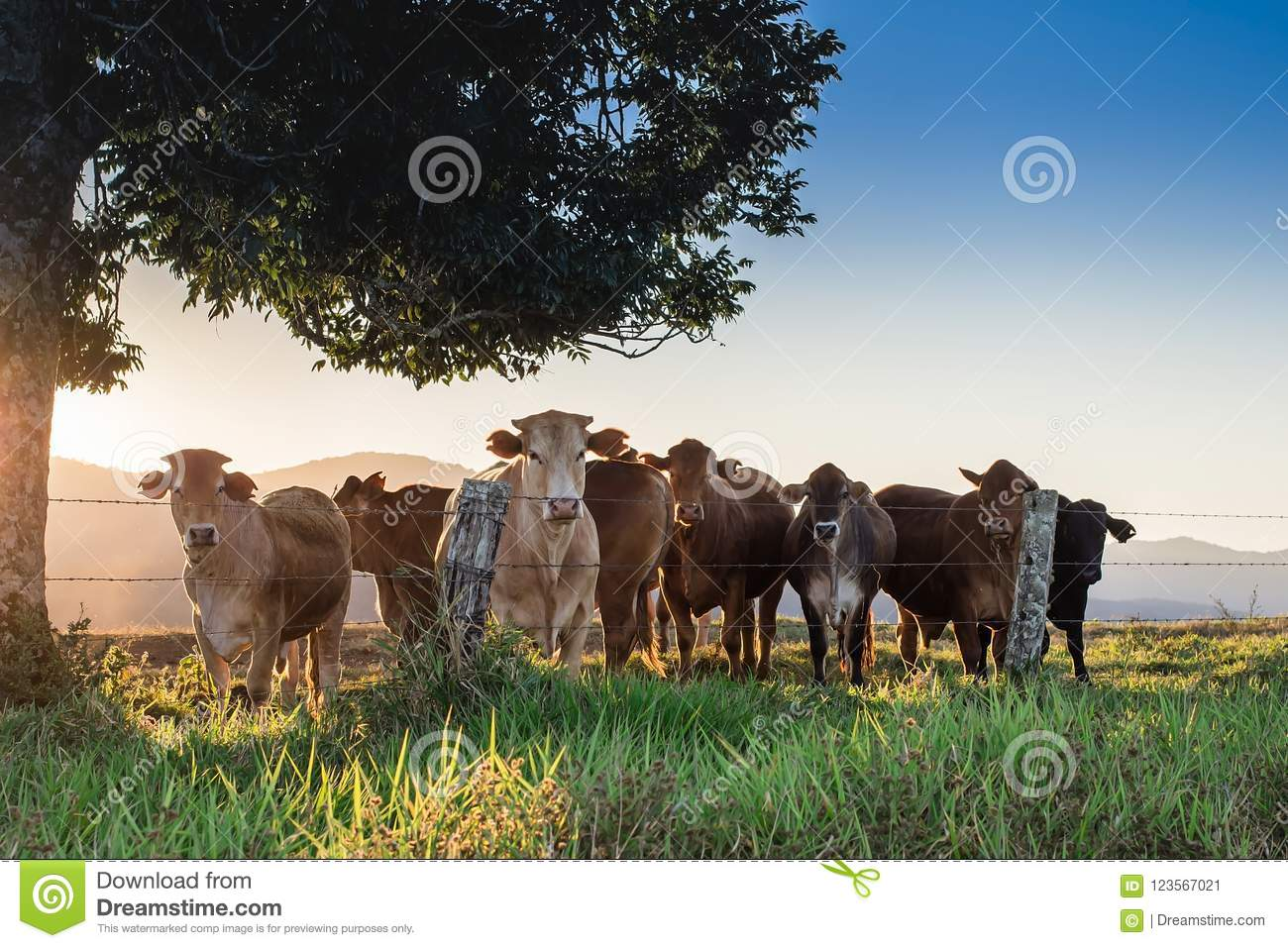 Cows under the tree