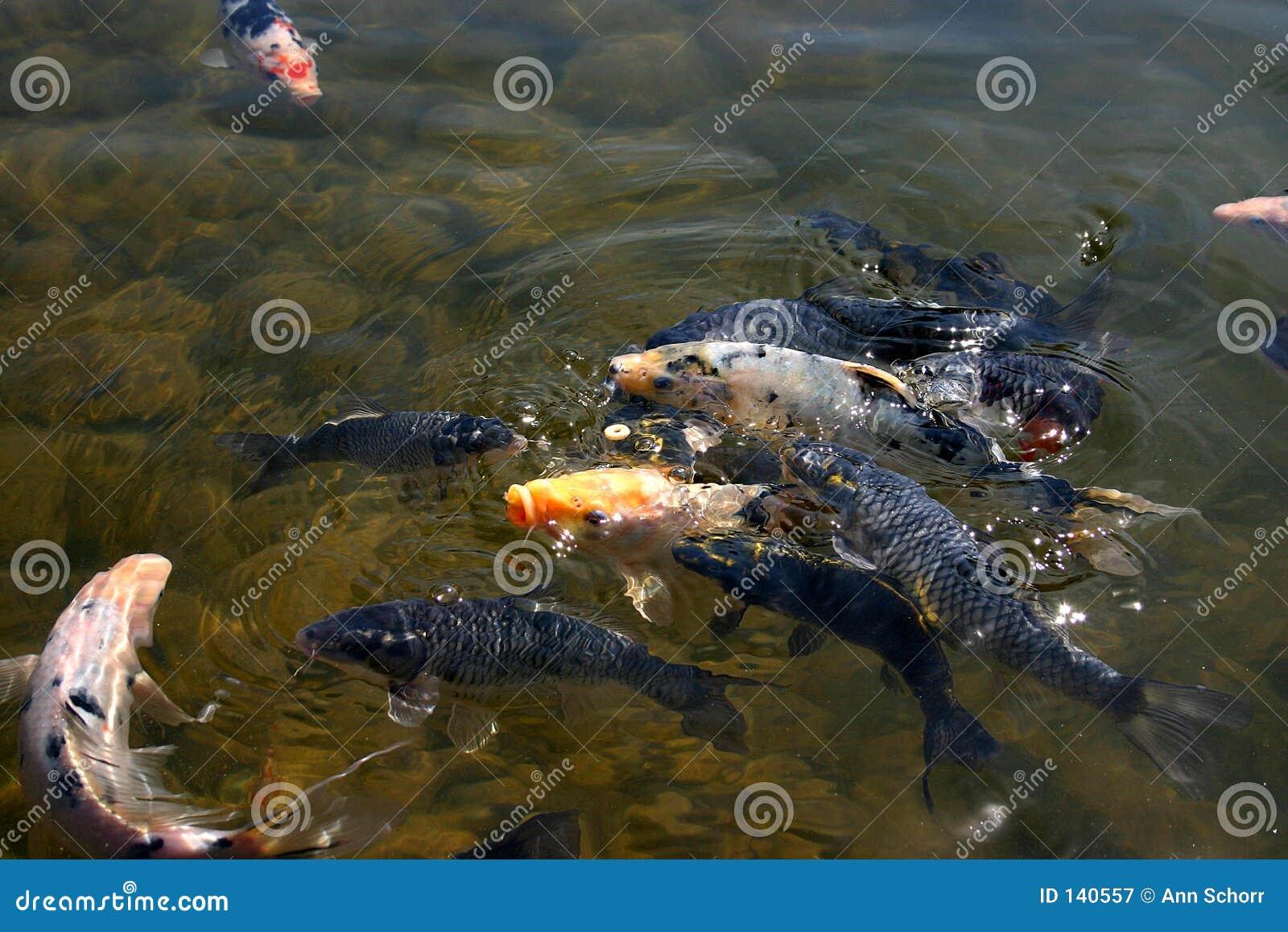 Coy Fish-4
