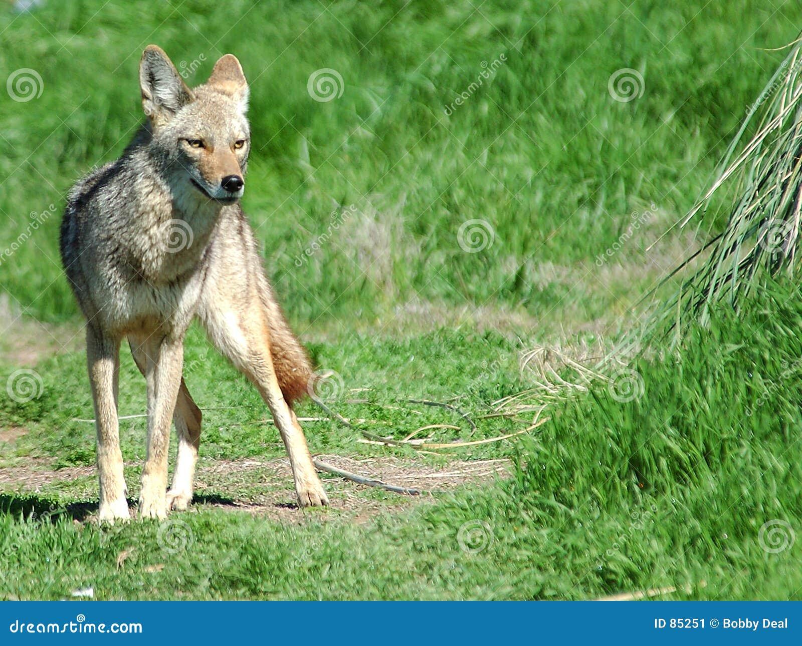 Coyote 5 pustyni