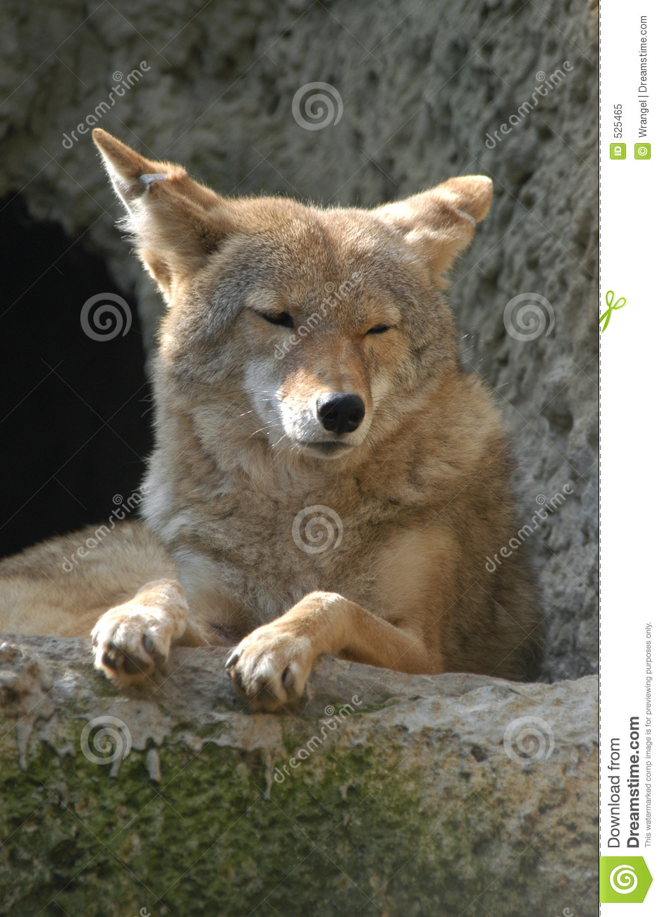Coyote Stock Image Image Of Meat Creature Grey Hungry 525465