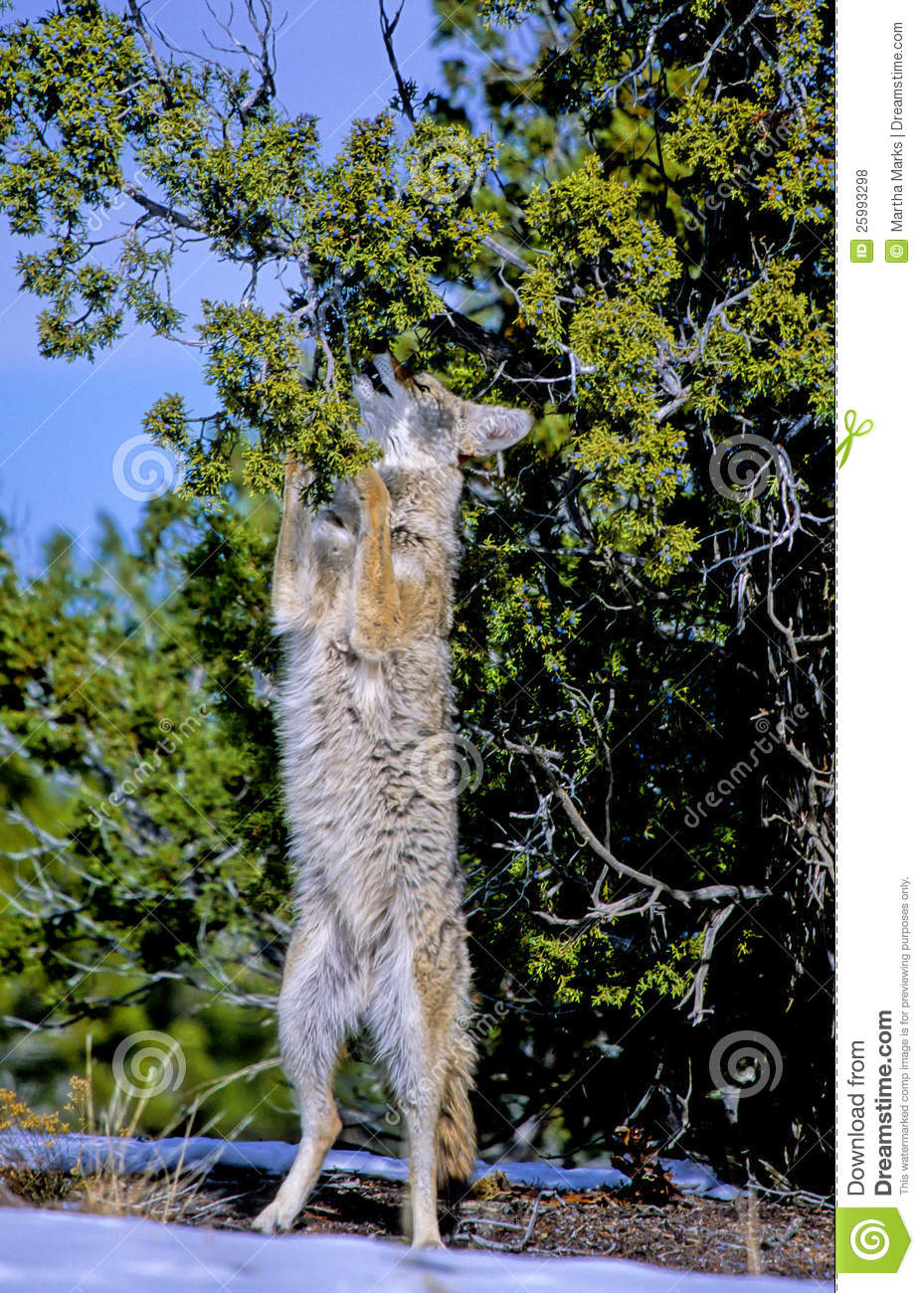 Coyote Canis Latrans Stock Photo Image Of Carnivore 25993298