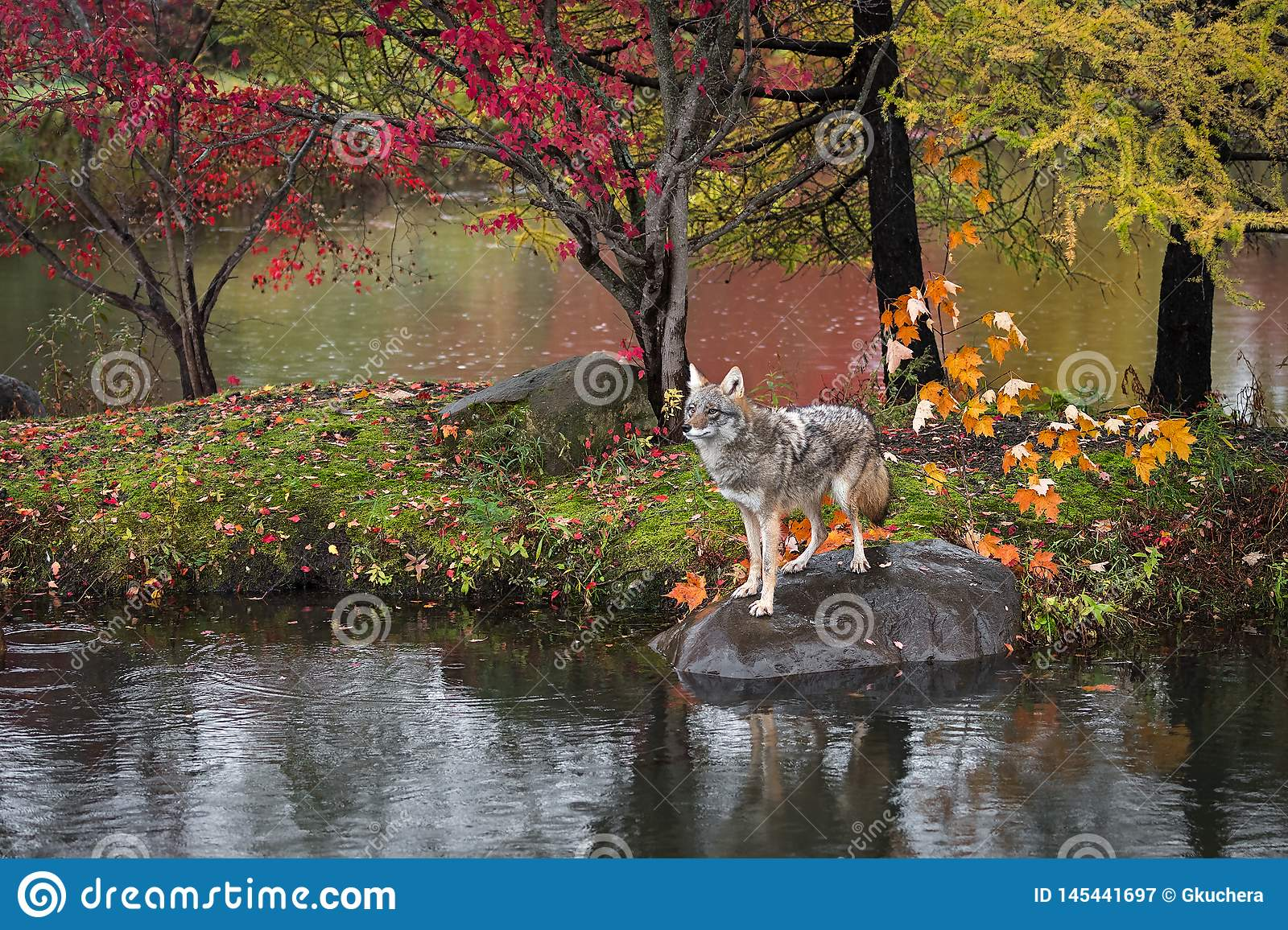 Coyote Canis latrans Stands on Rock Island Autumn