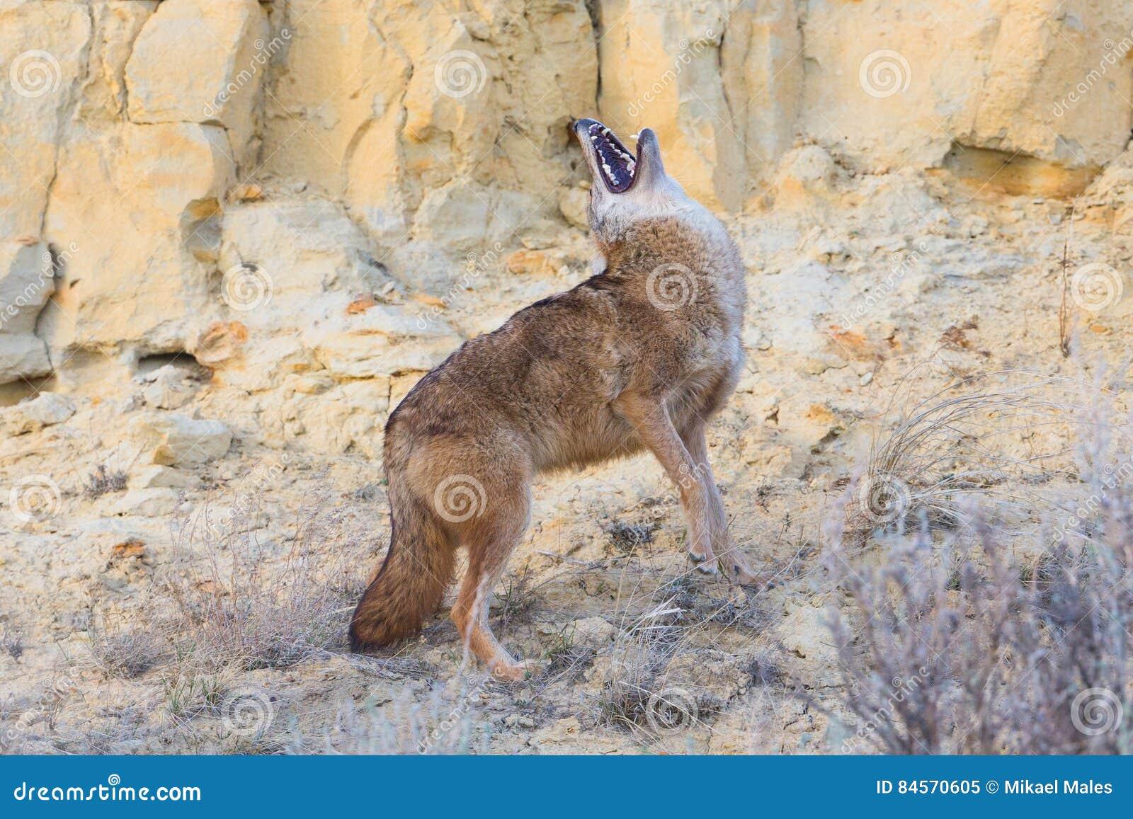 Coyote che urla con la sua testa indietro