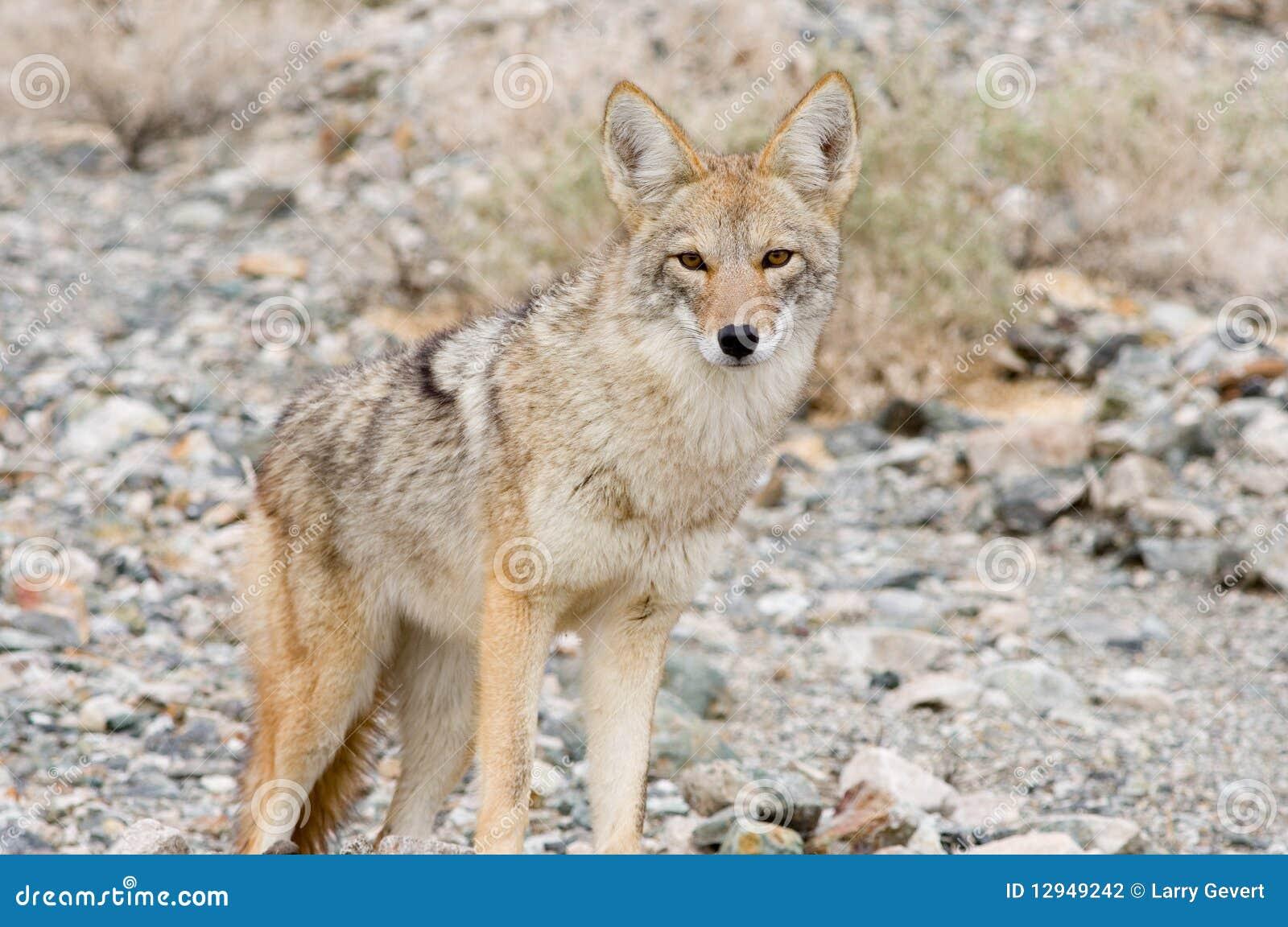 Desert coyote pictures - photo#28