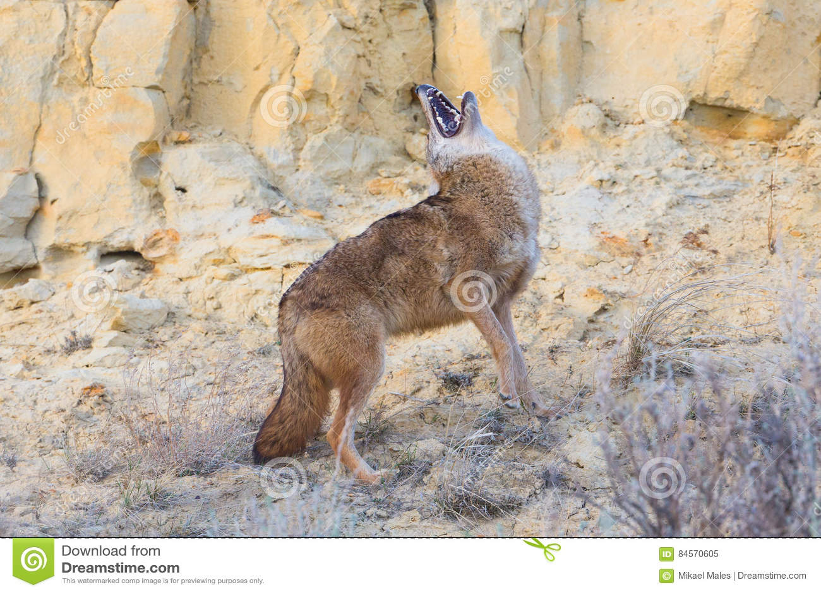 Coyote die met zijn hoofdrug huilen