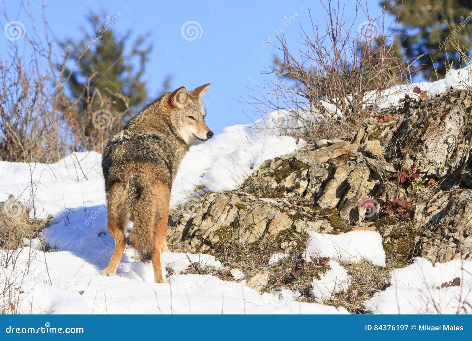 Coyote en vagabundeo