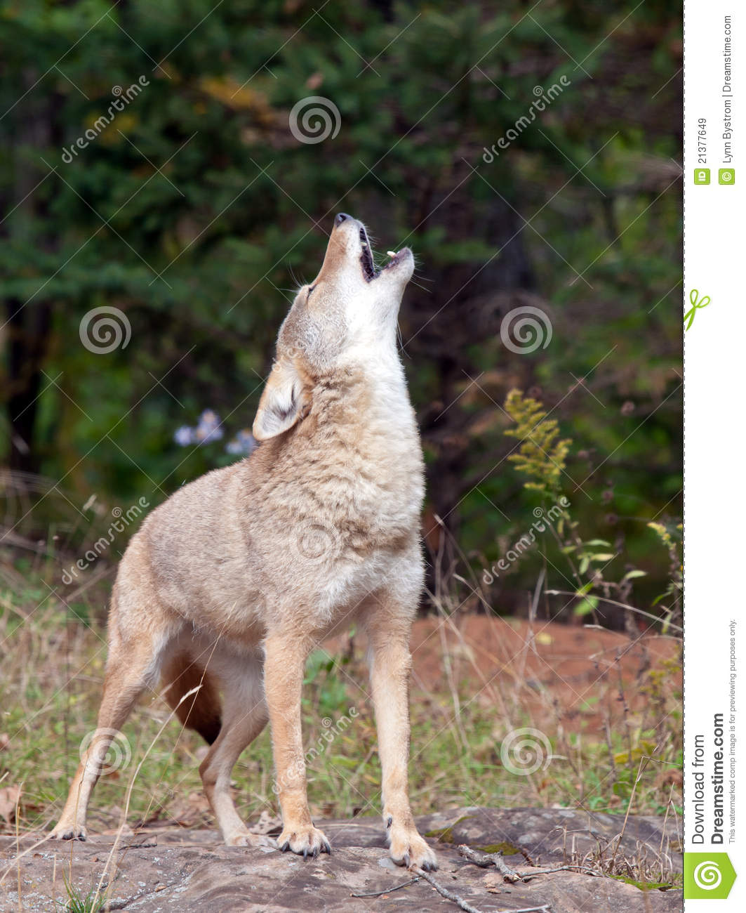Coyote Howling Royalty Free Stock Images Image 21377649
