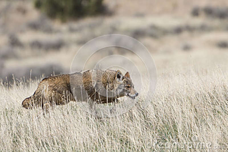 Coyote on hunt