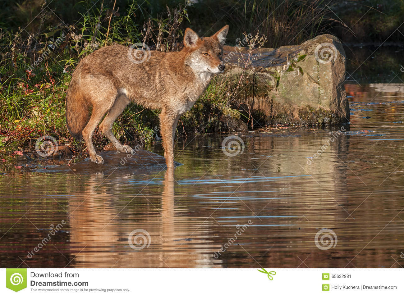 Coyote (latrans de Canis) avec Front Feet dans l étang