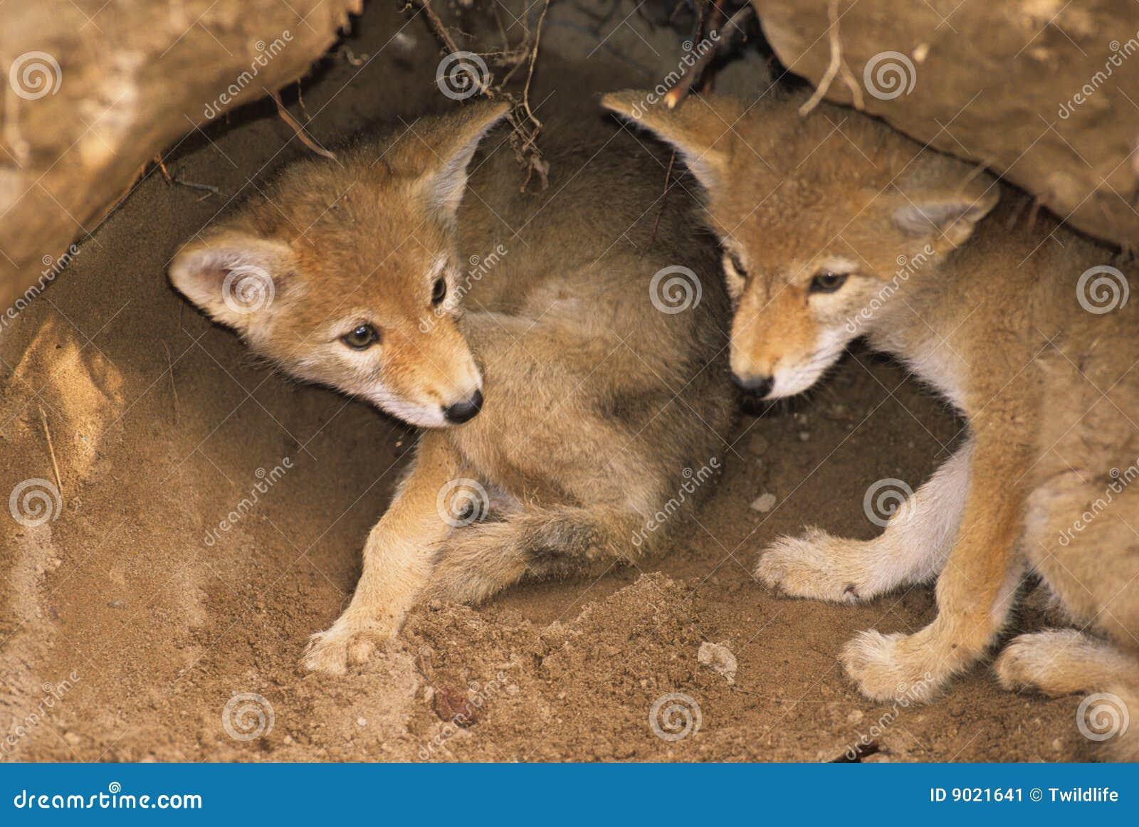 Coyote Pups in Den