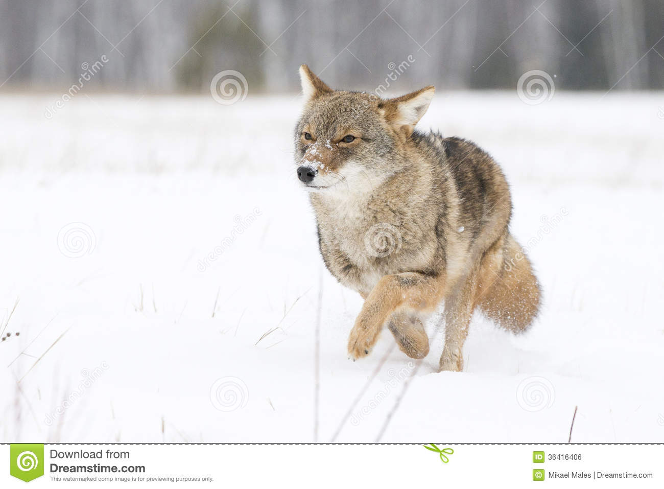 Coyote on the Run stock photo. Image of like, howling ...  Coyote on the R...