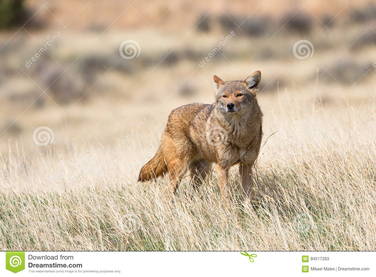 Coyote in search of food