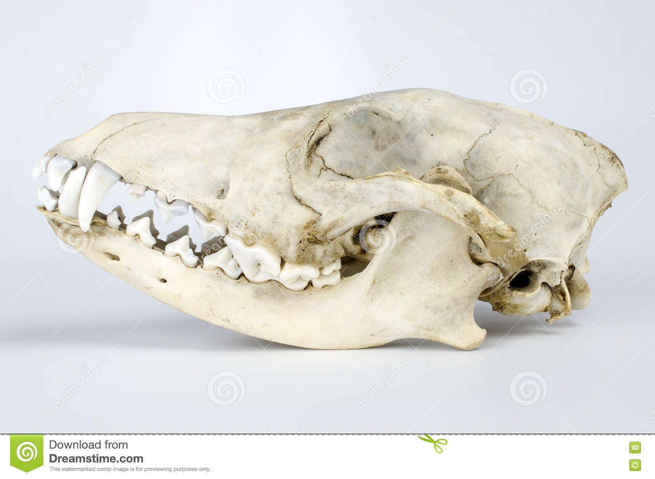 Coyote Skull Taxidermy stock image  Image of arch, coyote