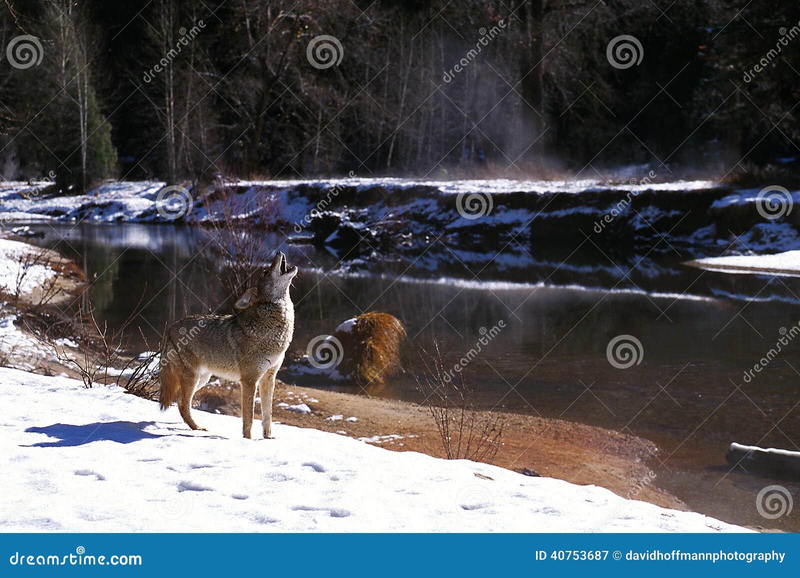 Coyote in sneeuw die door rivier (Canis latrans) huilen, Californië, Yos