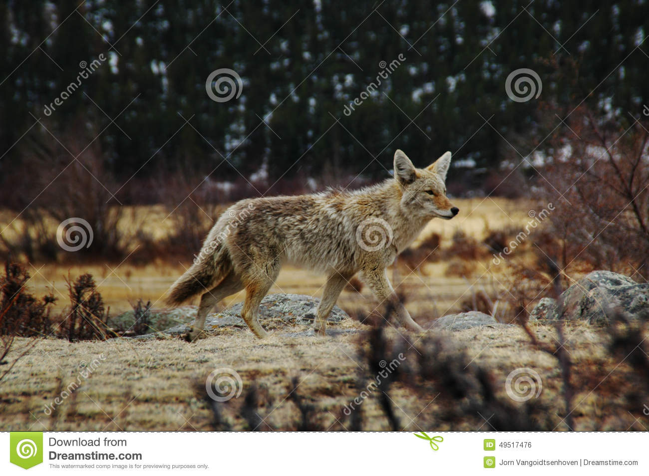 Coyoteportret