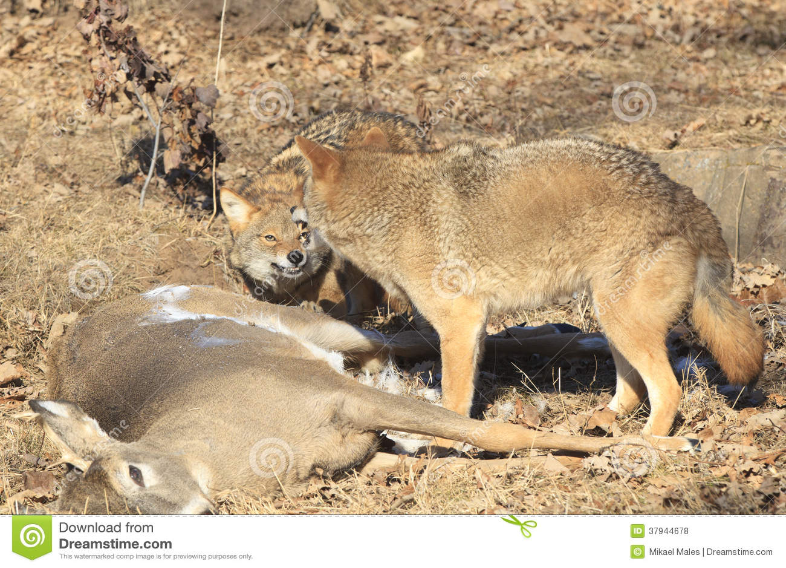 Coyotes combattant au dessus de la nourriture photo stock for Nourriture combattant