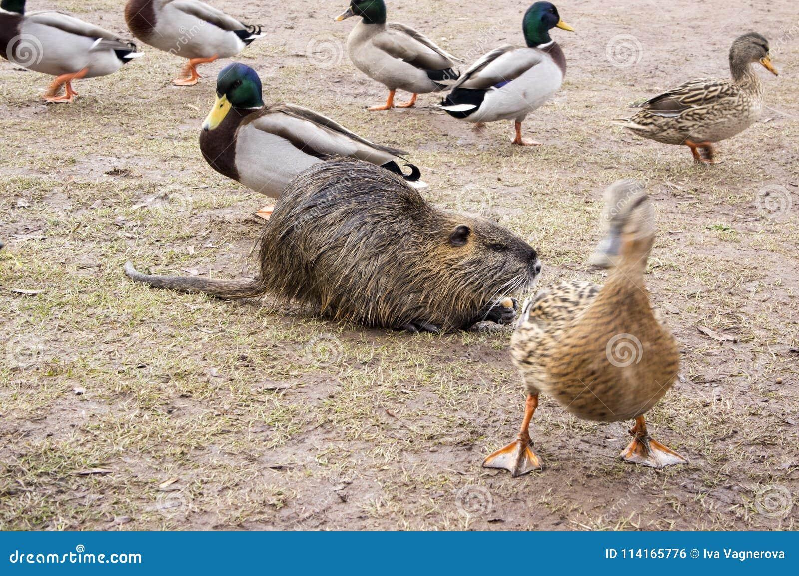 Coypu, Flussratte, nutria Pelztier und Gruppe Enten