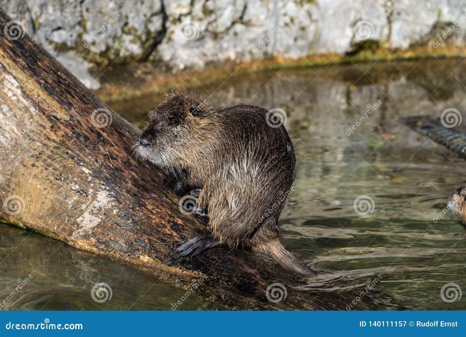 Coypu, nutria del Myocastor, anche conosciuta come il ratto o il nutria del fiume