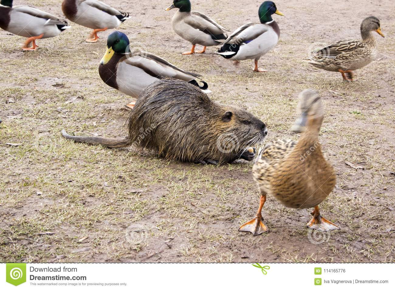 Coypu, river rat, nutria furry animal and group of ducks