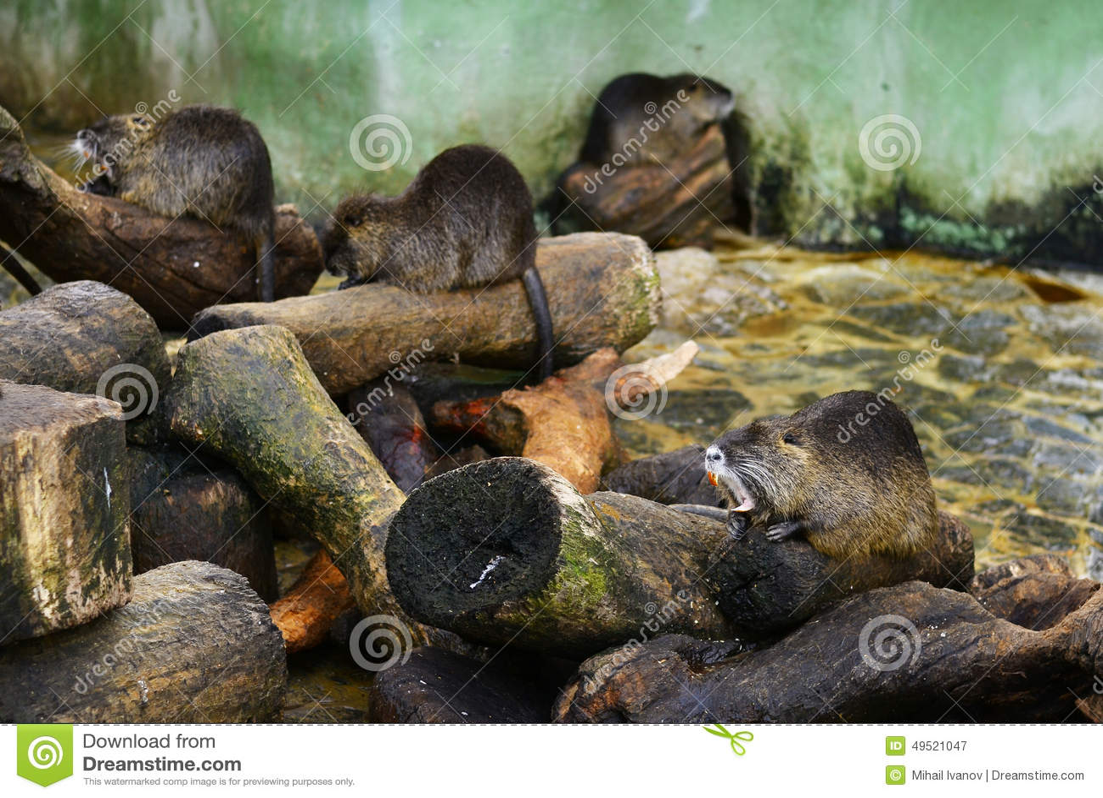 Coypu (River Rat)