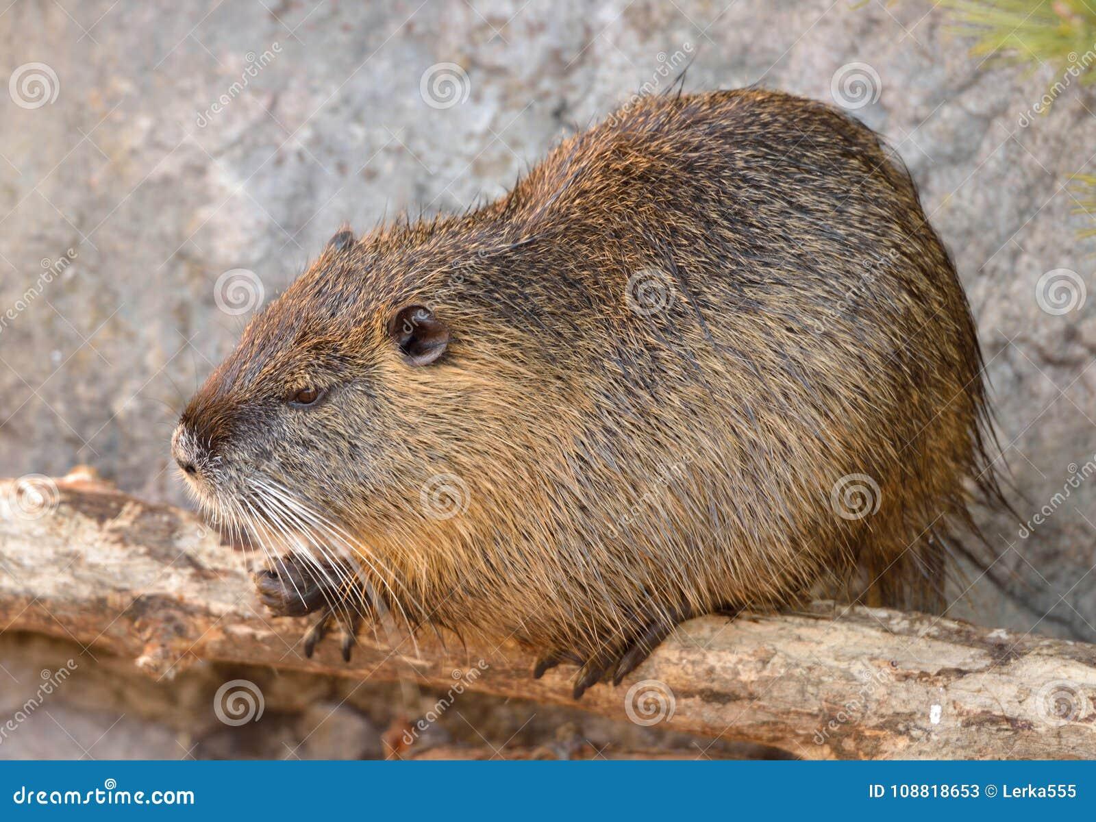 Coypus do Myocastor do Coypu, igualmente conhecidos como o rato ou o nutria do rio