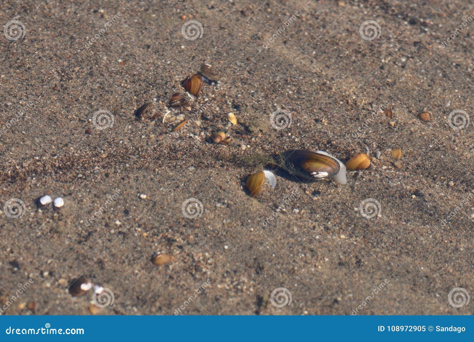 Cozze d acqua dolce, unionoida bivalve acquatico dei mulluscs