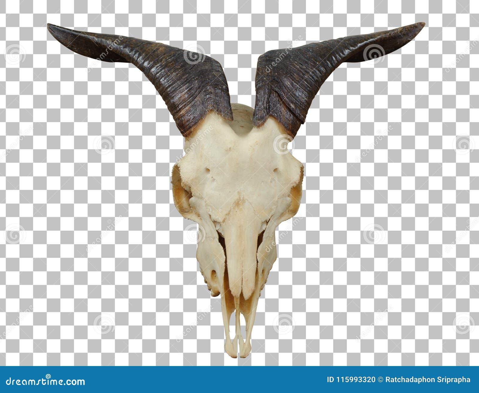 Cráneo Animal Con Caída Grande Del Cuerno En La Pared De Madera Foto ...