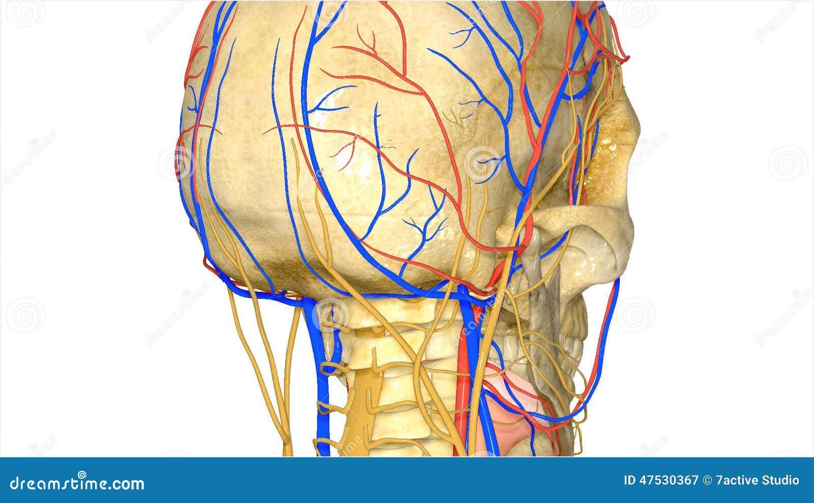 Cráneo Con El Sistema Circulatorio Almacen De Video - Vídeo de ...