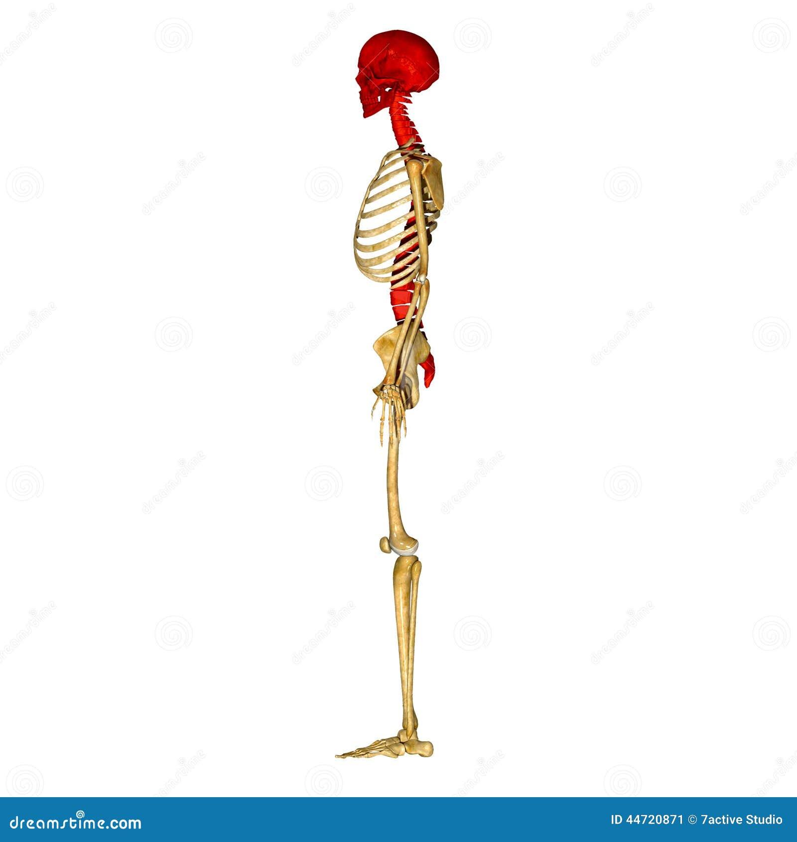 Cráneo Con La Médula Espinal Stock de ilustración - Ilustración de ...